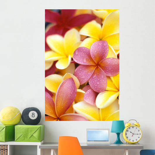 Studio Shot Of Yellow And Two Pink Plumeria Flowers, Water Drops Wall Mural