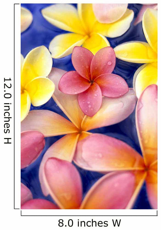 Studio Shot Of Colorful Plumeria Flowers On Blue Background Wall Mural