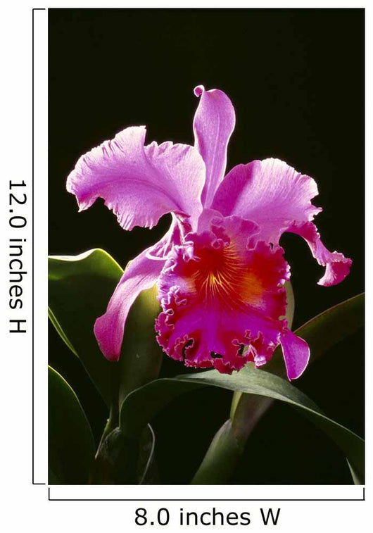 Studio Shot Of Single Purple Cattleya Orchid On Plant Wall Mural
