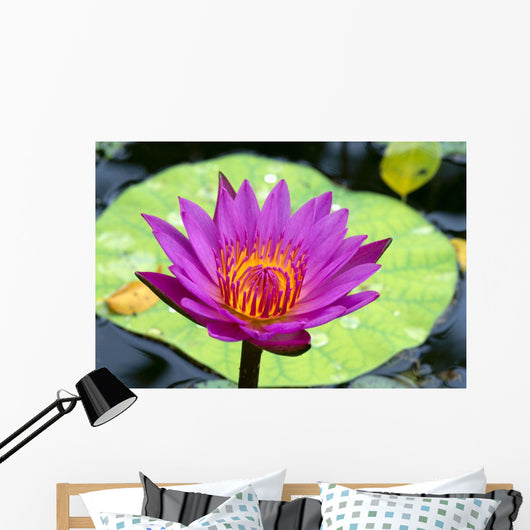 Close-Up Of Single Bright Pink Water Lily With Yellow Center, Lily Pad Wall Mural