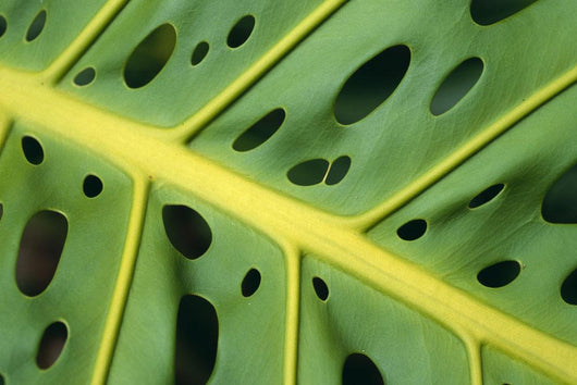 Extreme Close-Up Of An Ape Plant, Symmetrical Holes Wall Mural