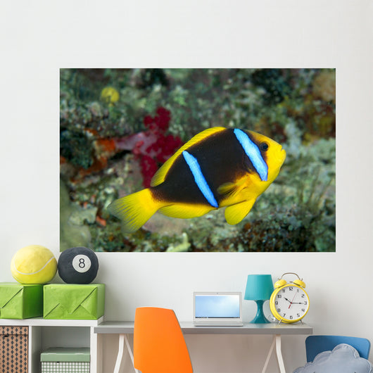Fiji, Orange-Fin Anemonefish Close-Up Side View Wall Mural
