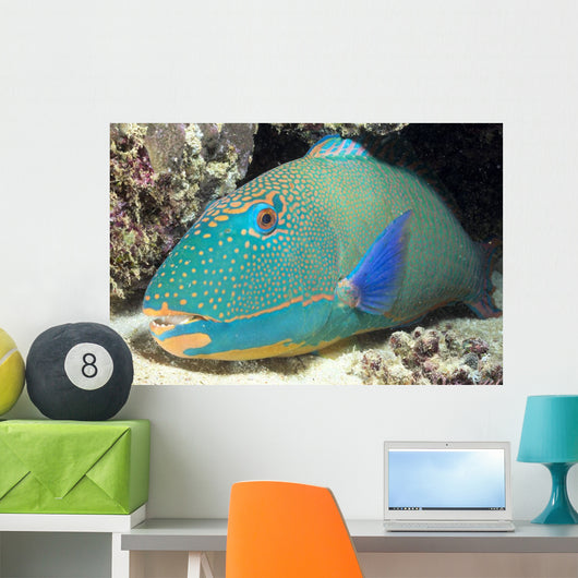 Close-Up Of Bicolor Parrotfish In Crevice On Ocean Floor Wall Mural