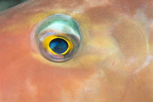 Fiji, Extreme Close-Up Of Female Parrotfish Eye At Night Wall Mural