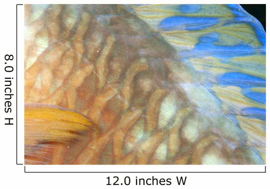 Fiji, Close-Up Detail Of Female Parrotfish, Fin And Scales At Night Wall Mural