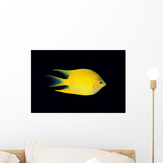 Fiji, Side View Of Golden Damselfish Wall Mural
