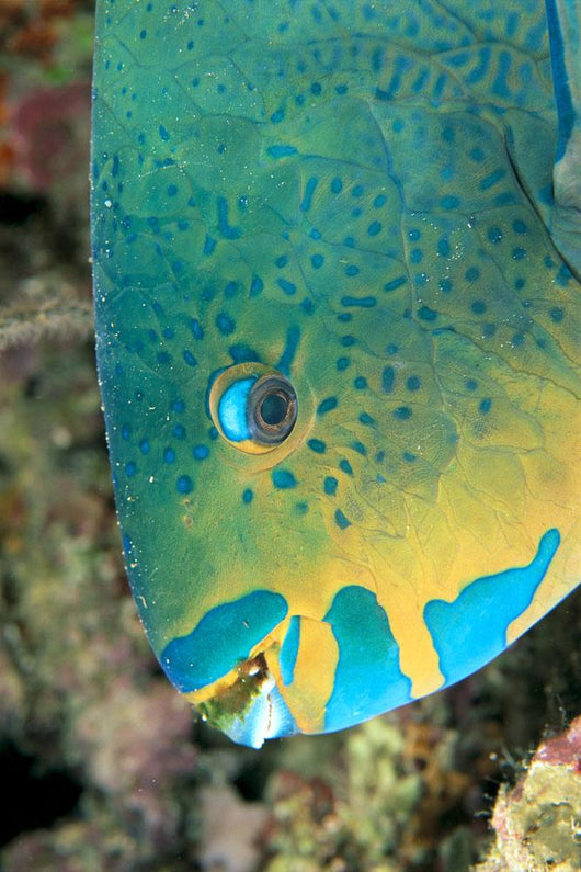 Fiji, Close-Up Side View Of Male Minifin Parrotfish At Night Wall Mural