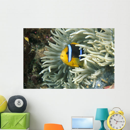 Fiji, Close-Up Of Orange-Fin Anemonefish In Anemone Wall Mural
