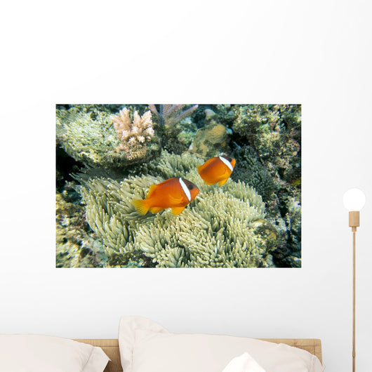 Fiji, Dusky Clownfish, Pair Swim Over Anemone Wall Mural