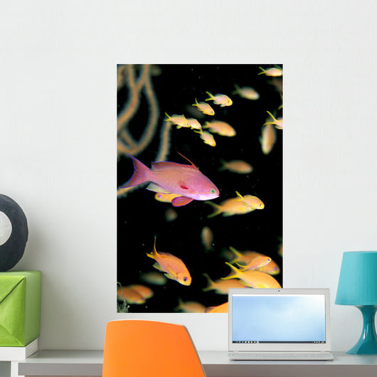 Fiji, One Male And Many Female Lyretail Anthias Wall Mural