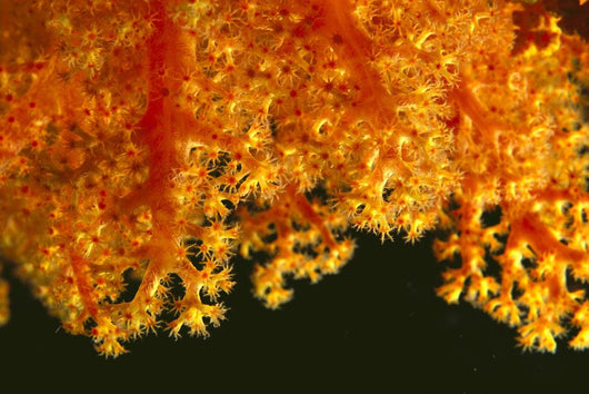 Solomon Islands, Close-Up Of Orange Soft Coral With Polyps Showing Wall Mural