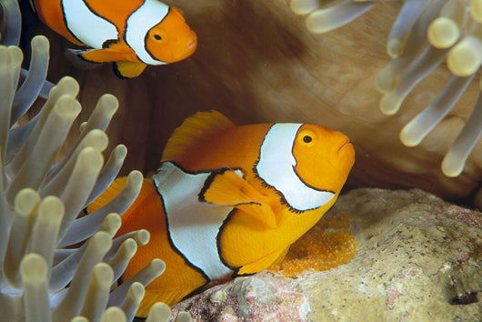 Indonesia, Clownfish Guards Egg Mass Wall Mural