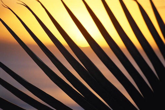 Close-Up Detail Palm Fronds Silhouetted Against Golden Sunset Skies Wall Mural