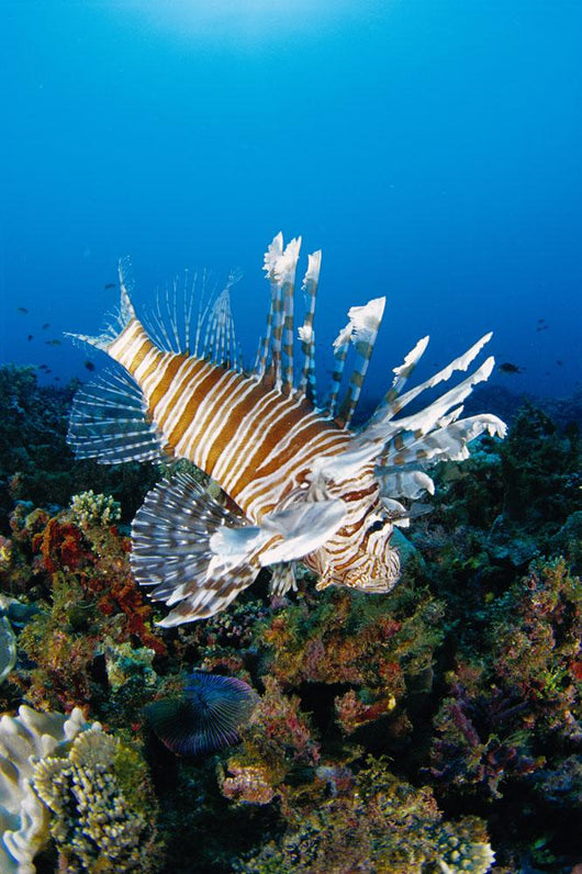 Fiji, Close-Up Side View Lionfish Over Coral Reef With Blue Ocean Wall Mural