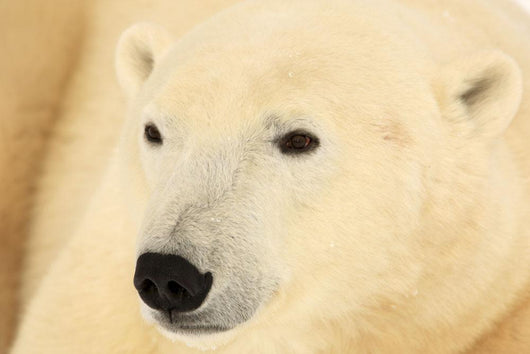 Close Up Of A Polar Bear, Churchill, Manitoba Wall Mural
