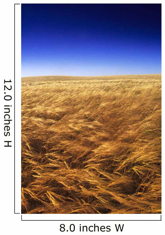 Ripening Wind-Blown Barley, Tiger Hills, Manitoba Wall Mural