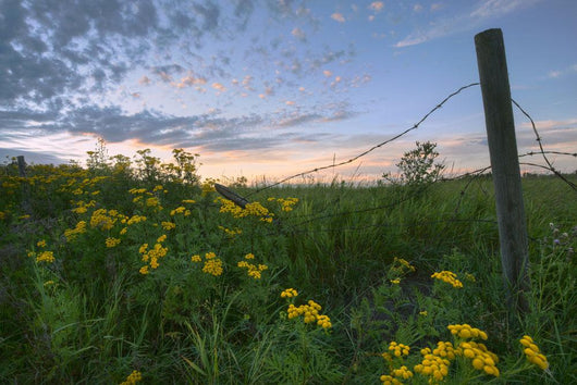A Summer Evening Sky With Yellow Tansy Flowers And Barbed Wire Fence Wall Mural
