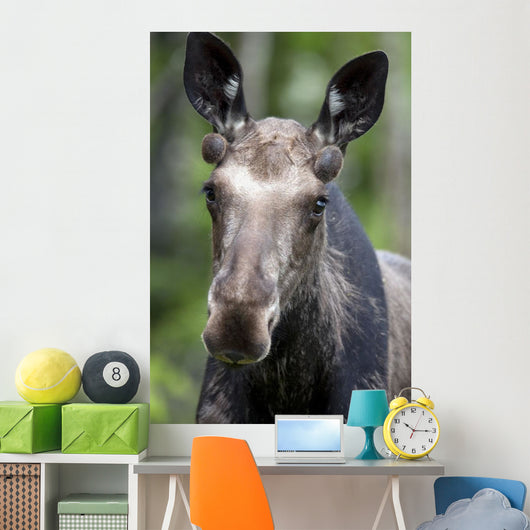 One Year Old Bull Moose With Growing Antlers In Spring Wall Mural