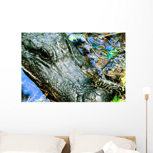 Female American Alligator And New Born, Fort Bend County, Texas Wall Mural