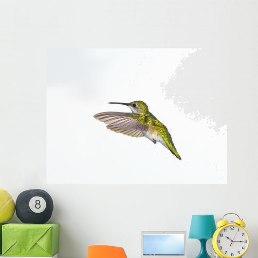 Ruby-Throated Hummingbird  Female Fairly Common In Gardens Wall Mural