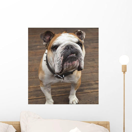 Purebred English Bulldog Wall Mural