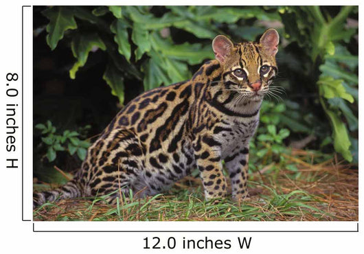 32603D, Ocelot, Southwestern Usa, South America Wall Mural