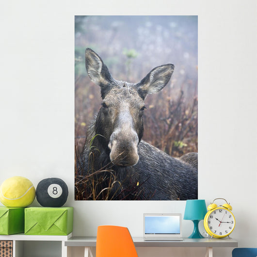 Moose Cow Sitting And Resting Wall Mural