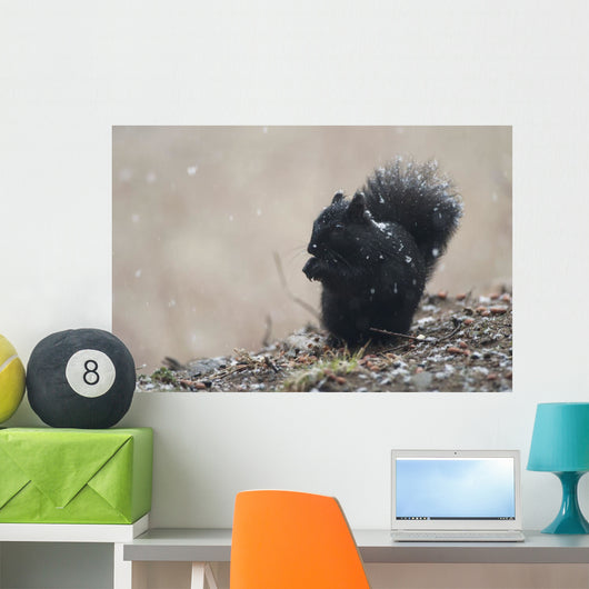 Black Squirrel Sitting In A Light Snowfall Eating A Peanut Wall Mural