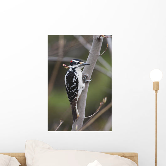 Hairy Woodpecker Perched On Small Tree Wall Mural