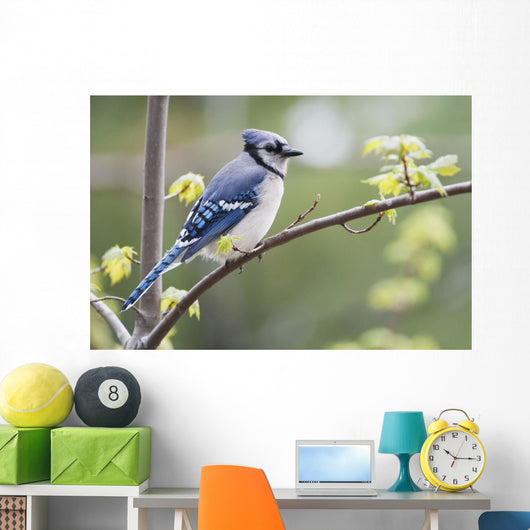 Blue Jay Perched On Budding Maple Tree In Springtime Wall Mural
