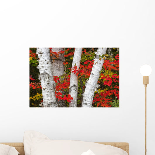 Birch Trees Surrounded By Red Maple Leaves In Algonquin Park Wall Mural