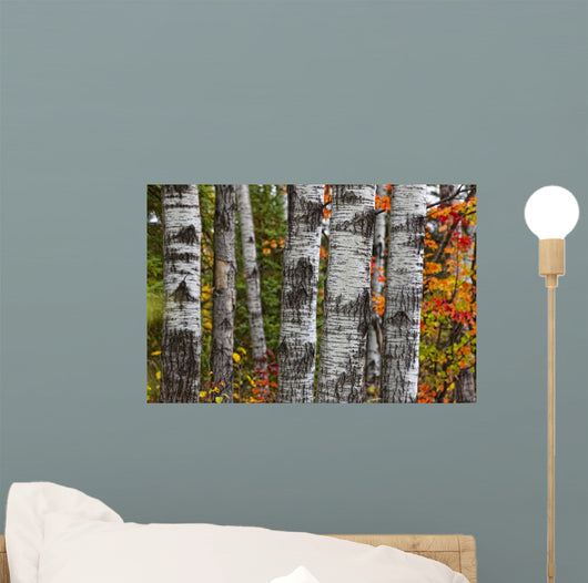 Aspen Trees Surrounded By Colourful Autumn Leaves Wall Mural