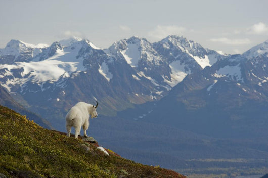 A Mountain Goat Stands On A Ridge With The Scenic Kenai Mountains Wall Mural