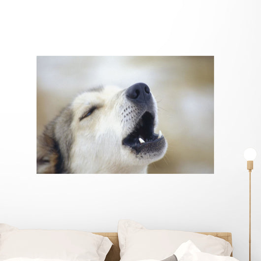 Portrait Of A Howling Sled Dog Winter We Alaska Wall Mural
