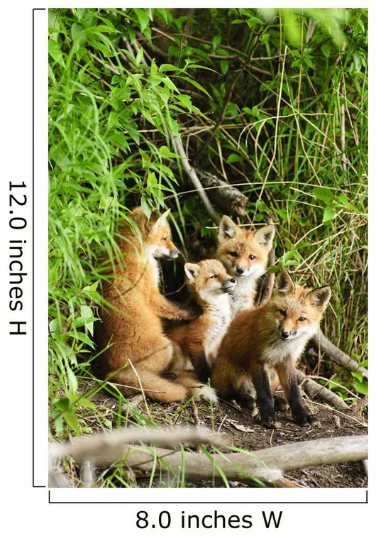 Red Fox Kits Playing Close To Their Den During Summer In Alaska Wall Mural