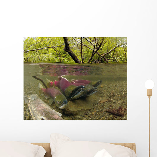 Underwater View Of Mature Sockeye Salmon On Spawning Grounds Wall Mural