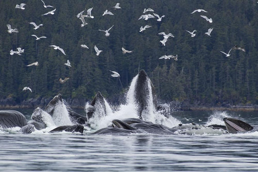 Humpback Whales Bubble Net Feeding For Herring In Chatham Strait Wall Mural
