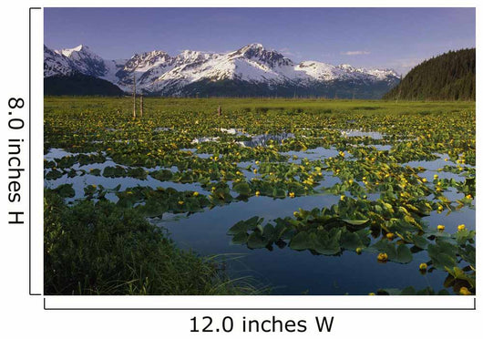 Lilly Pads In Bloom On Wetlands Chugach Nf Sc Ak Summer Chugach Mtns Wall Mural
