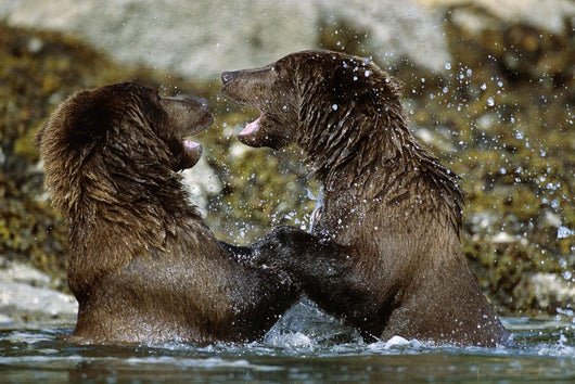 Two Brown Bears Fighting In River Geographic Harbor Ak Sw Summer Wall Mural