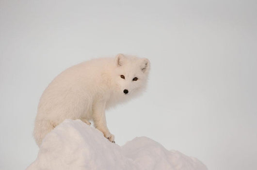 Arctic Fox Stands In Late Afternoon Sun On Top Of A Large Chunk Of Ice Wall Mural