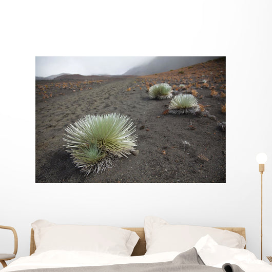 A Silversword plant growing along the trail of the crater Wall Mural