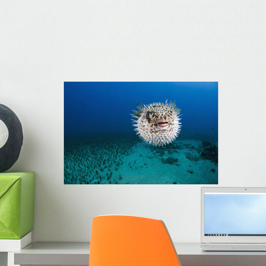 Hawaii, The spotted porcupinefish floating in deep blue pacific waters Wall Mural