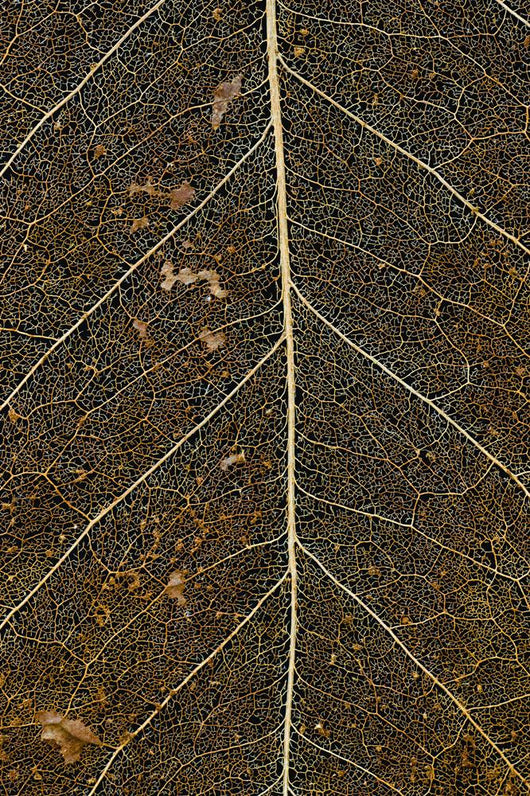 Hawaii, Big Island, Macro detail of a Kona Coffee leaf Wall Mural