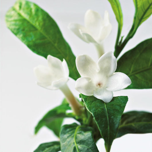 Close-Up Of Jasmine Plant In Bloom Wall Mural