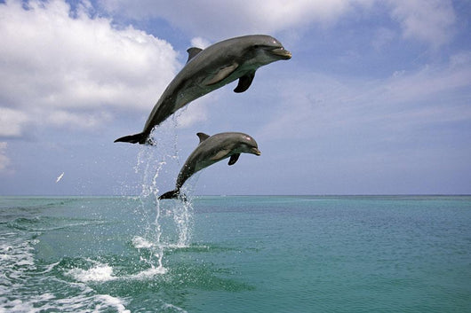 Pair Of Bottle Nose Dolphins Jumping Roatan Honduras Summer Wall Mural