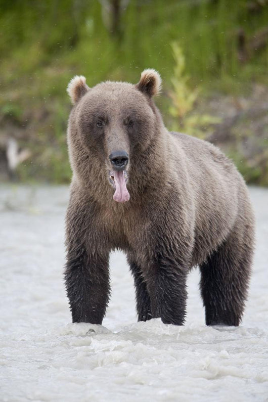 Brown Bear Sticking Out Its Tongue While Standing In The Copper River Wall Mural