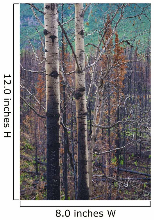 View Of Burnt Trees From The Eklutna Lake Fire Wall Mural