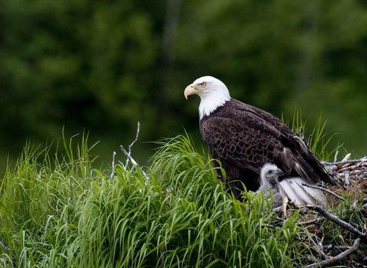 Bald Eagle Nesting With Her Chick Wall Mural