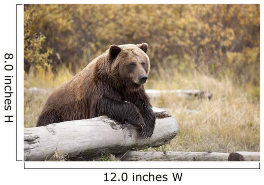 Captive Adult Brown Bear Rests On A Log Wall Mural