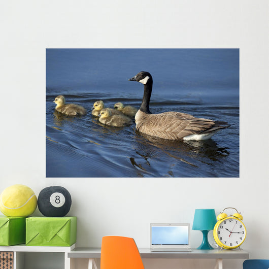 Adult Canada Goose Swimming With Four Newborn Gosling Chicks Wall Mural